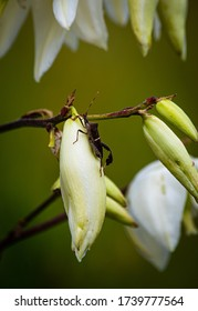 Spoonleaf Yucca plant blooms with brown stinkbug on the petals, photographed and set against out of focus background