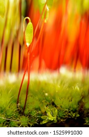 Sporophyte of Creeping feather-moss (Amblystegium serpens), Stuttgart, Baden-Württemberg, Germany