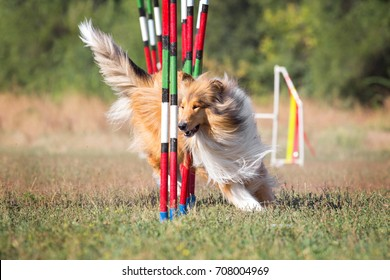 Sport for dogs agility obstacle slalom. A collie breed dog participates in agility competitions.