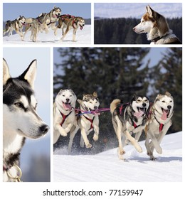 Sportive dogs are running in the snow, mountain in winter