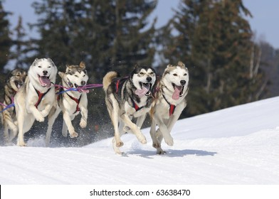 sportive dogs in the snow