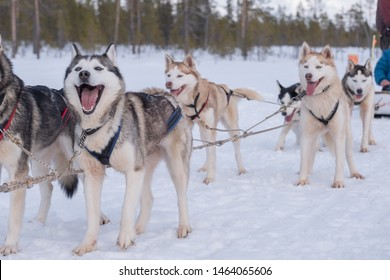 sportive dogs in the snow, extreme, mountain drag Siberian dog dragging tourists around Murmansk, Russia lovely bright