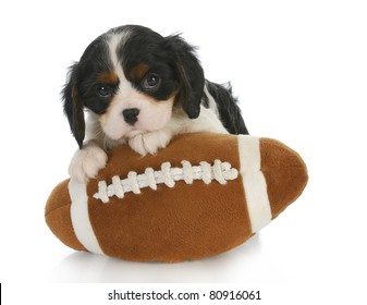 sports hound - adorable cavalier king charles spaniel sitting on stuffed football - 6 weeks old
