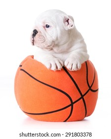 sports hound - bulldog puppy inside a stuffed basketball - 7 weeks old