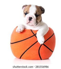 sports hound - bulldog puppy sitting inside a plush stuffed basketball