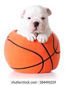 sports hound - bulldog puppy sitting inside a plush stuffed basketball