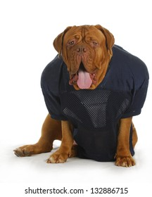sports hound - dogue de bordeaux with funny expression wearing football jersey sitting isolated on white background