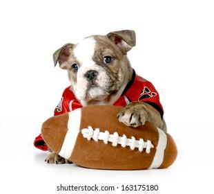 sports hound- english bulldog dressed up like football player
