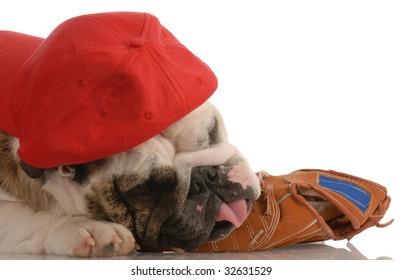 sports hound - english bulldog wearing hat and resting on baseball glove