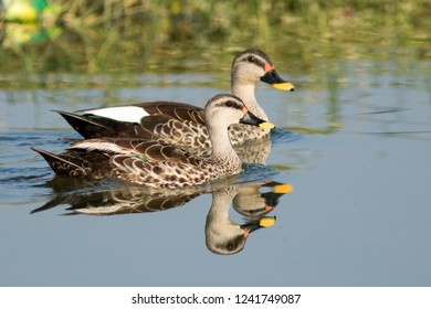 A spot billed duck bird in early morning during sunrise time watching it self in the reflection in the water. Duck in golden light in winter morning with fog environment