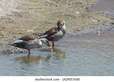 Spot billed duck is a non-migratory breeding duck throughout freshwater wetlands in the Indian subcontinent. The breeding season varies with rainfall and water condition.