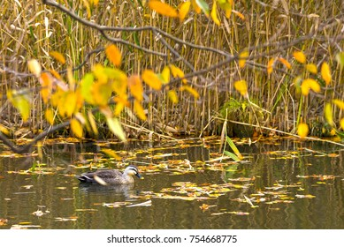 Spot billed duck swims on the pond where fallen autumn leaves float.