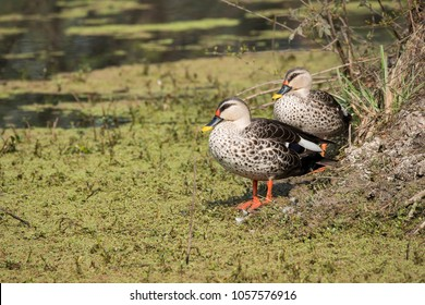 Spot billed ducks are resident birds to indian subcontinent and visit bharatpur bird sanctuary during winter as it provides enough opportunity for food
