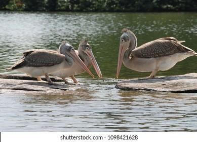 A spot billed pelican standing near a rocky surface near cauvery river inside ranganathittu bird sanctuary near mysore on a boat ride