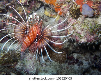 Spot fin Lion fish (Pterois antennata).  Lion fish are known for their venomous fin rays. Stings from this lion fish can cause  nausea, fever, breathing difficulties, convulsions, and sweating.