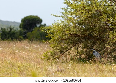Spot the Heron Bird catching shade by the tree in the field