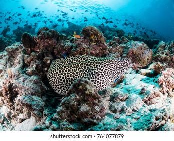 Spot morey eel
