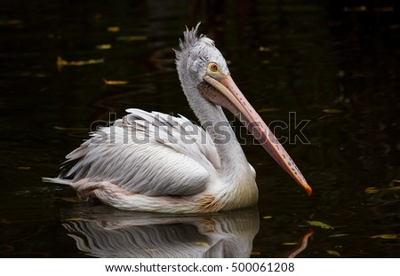 Spotbilled Pelican Grey Pelican Pelecanus Philippensis Stock Photo