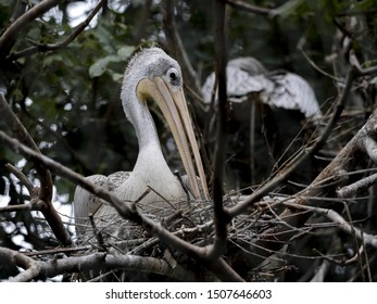 A spot-billed Pelican, Pelecanus philippensis, sits high on a nest