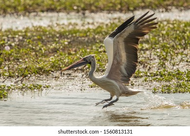Spot-billed Pelican (Pelecanus philippensis) in Sri Lanka