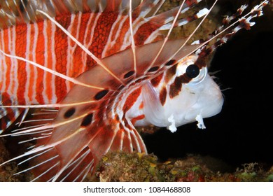 Spotfin Lionfish Close-up (Pterois antennata). Anilao, Philippines