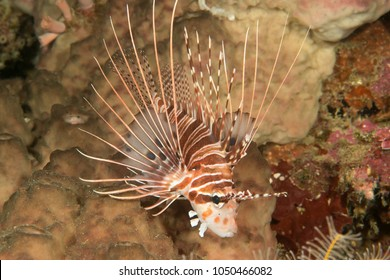 Spotfin lionfish, pterois antennata resting on corals of Bali, Indonesia