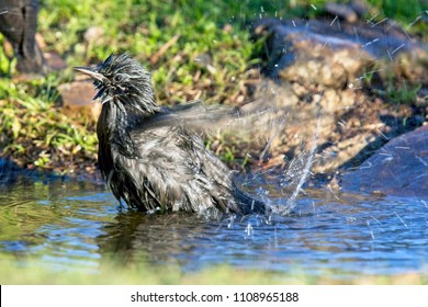 Spotless Starling (Sturnus unicolor), Sierra Morena, Andalucia, Spain.