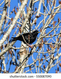 Spotless Starling in a winter tree