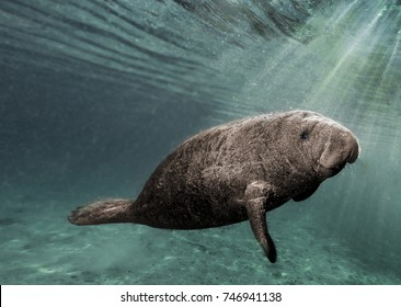 'Spotlight'  This young manatee was caught in a sunbeam as it swam just below the surface in Crystal River Florida.  It swam up to take a peek at me then, curiosity satisfied, moved on downstream.