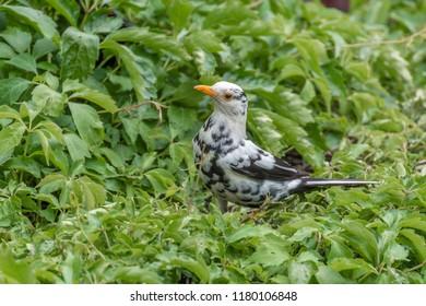 Spotted Albino Blackbird