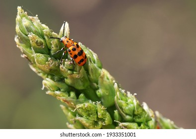 Spotted asparagus beetle on the asparagus sprout top. The main pest of asparagus crop.