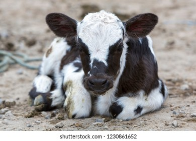 Spotted baby cow resting on the ground at the animal Andean market of Otavalo and looking at the camera. Ecuador 2015