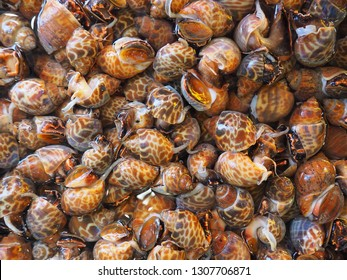 Spotted babylon or Babylonia areolata  is a species of sea snail. They have brown sections over a white shell.