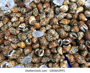 Spotted Babylon Shellfish Seafood