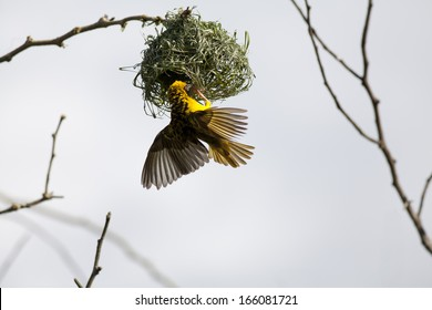 Spotted Backed weaver building a nest