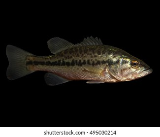 Spotted Bass (Micropterus punctulatus) Isolated on a Black Background