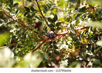 Spotted beetle in the afternoon on a branch. Mimicry beetle among leaves