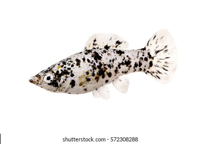 Spotted Black Molly Poecilia sphenops vetiprovidentiae aquarium fish