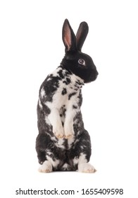 Spotted black and white bunny stands on its hind legs isolated on a white background.