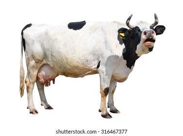 Spotted black and white cow full length isolated on white. Cow close up. Farm animals