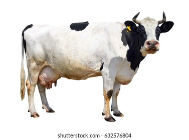 Spotted black and white cow full length isolated on white. Funny cute cow isolated on white. Cow, standing full-length in front of white background and  looking at the camera. Farm animals.