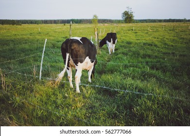 Spotted Black and White Holstein Cattle Grazing in a Green Field