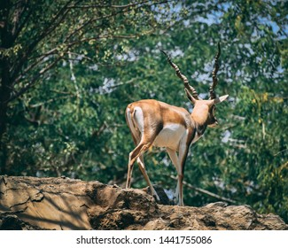 spotted Blackbuck at jungle in background of green trees.