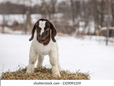 Spotted Boer Goat kid with Lop Ears in the snow