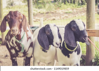 Spotted Boer Goat kids with Lop Ears in warm retro setting strike a pose