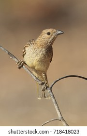 A Spotted Bowerbird, Ptilonorynchus maculatus, perched on a branch in outback Western Queensland