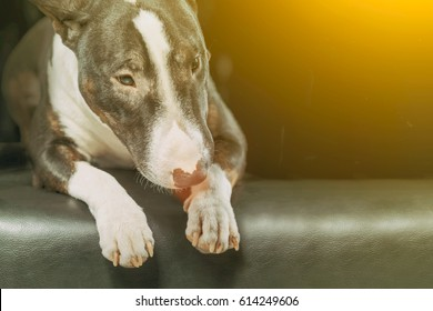 Spotted Bull Terrier lying  in the yellow light