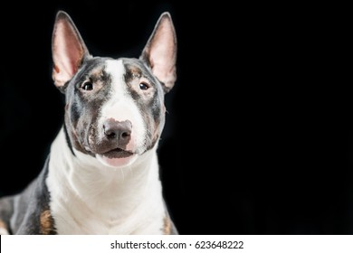 Spotted Bull Terrier on a black background