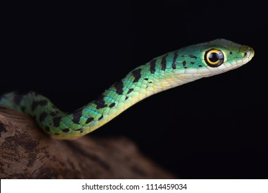 Spotted bush snakes (Philothamnus semivariegatus) are excellent climbers and swimmers, have very good eyesight, and are highly alert snakes. They are found in Southern Africa.