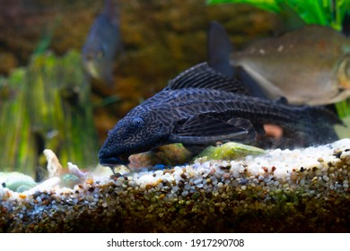 Spotted catfish in a lighted aquarium. Home aquarium with fish. Aquarium with colorful plastic decorations.
